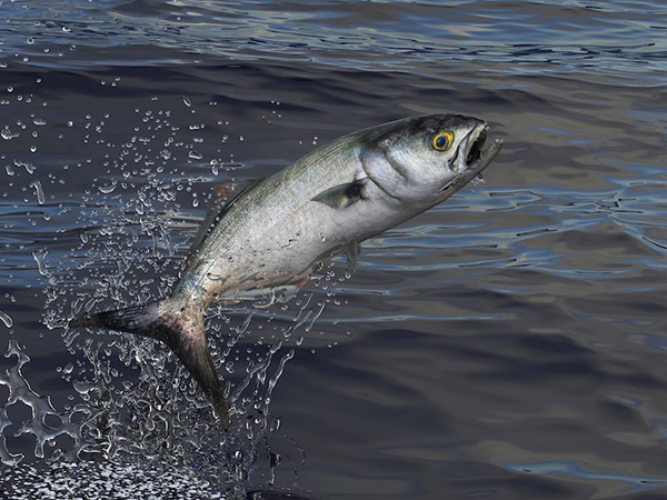 Where have all the bluefish gone?